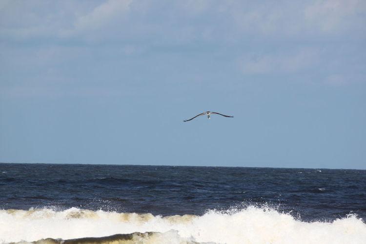 Osprey In Flight Osprey With It's Catch Animals In The Wild Bird Ocean Ocean Photography Outdoors Wave