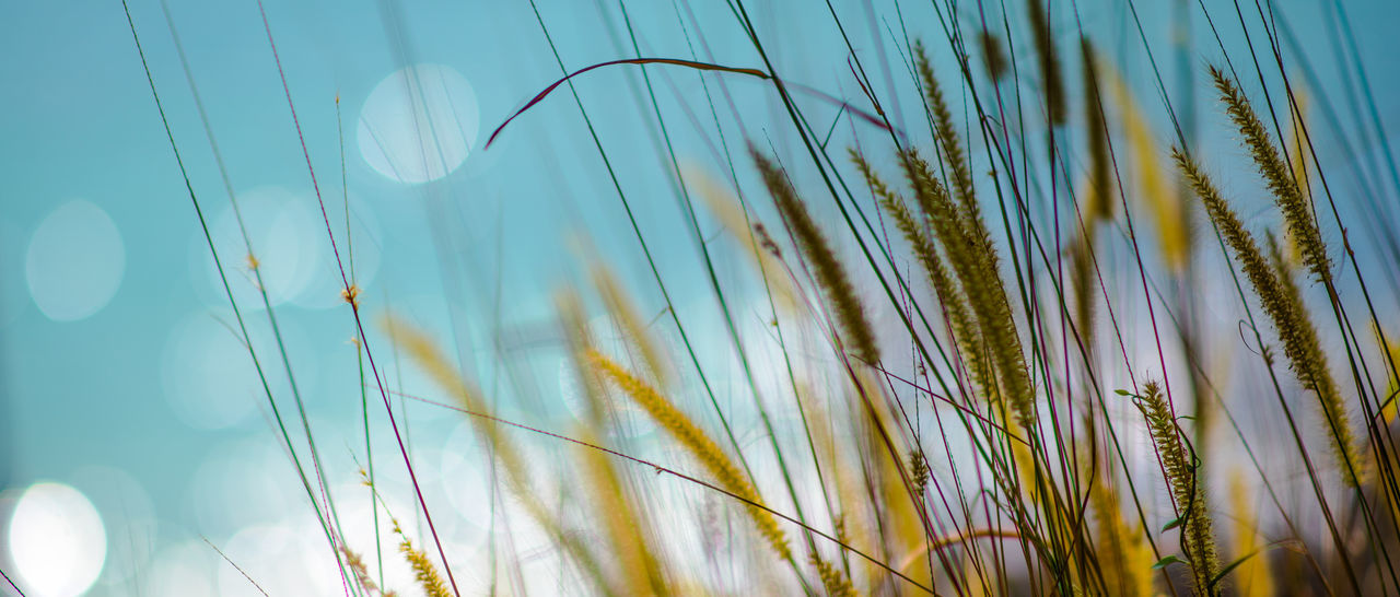 Hays on the beach Beauty In Nature Bokeh Cereal Plant Close-up Day Ear Of Wheat Grass Growth Hay Low Angle View Nature No People Outdoors Plant Sea Sky Sun Light Through Trees Tranquility