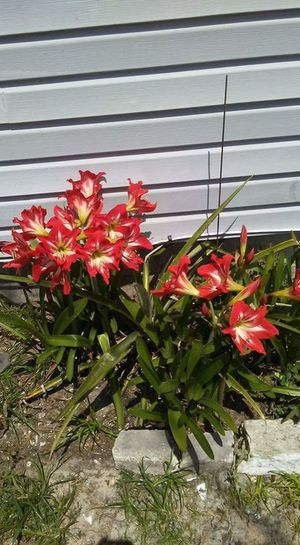 Flowers every where Flowers Everywhere Amaryllis In Bloom Candy Stripped Spring Flowers Springtime Florida Life