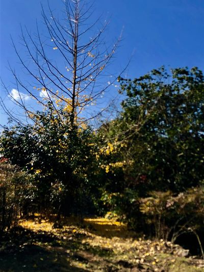 A Bare Gingko Tree against the Blue Sky. (181110-181205) Tree Plant Sky Growth Nature No People Sunlight Beauty In Nature Scenics - Nature Land Field Non-urban Scene Clear Sky Blue Tranquility Tranquil Scene Day Outdoors Low Angle View