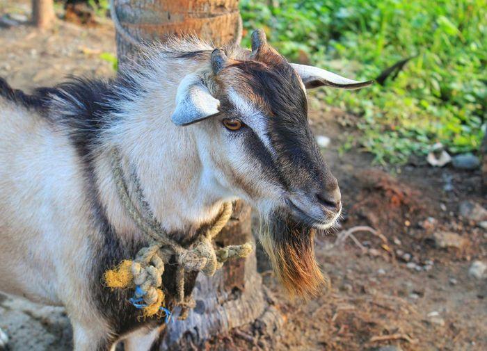 Goat Philippines Nueva Ecija Farm Animal Goat Animal Themes Animal Mammal Animal Wildlife One Animal Vertebrate Animals In The Wild Close-up Field Herbivorous Day Outdoors No People Animal Body Part