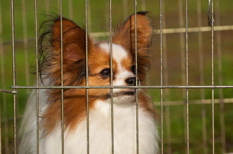 Papillon Animal Animal Themes Animals In Captivity Cage Caged Canine Contained Day Dog Domestic Animals Exercise Pen Fence Mammal No People One Animal Papillon Papillon Dog Pets Safety Wire Cage