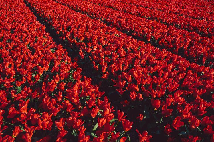 Full frame shot of red flower on field