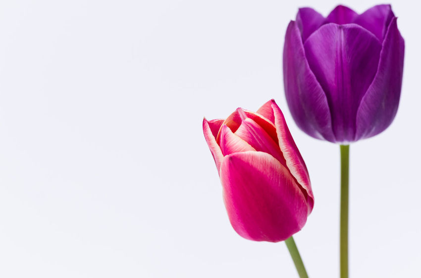 colors - stil life tulips Beauty In Nature Blooming Close-up Copy Space Flower Flower Head Fragility Freshness Growth Nature Nature_collection No People Perspectives And Dimensions Petal Pink Pink Color Plant Purple Stem Studio Shot Tulip White Background