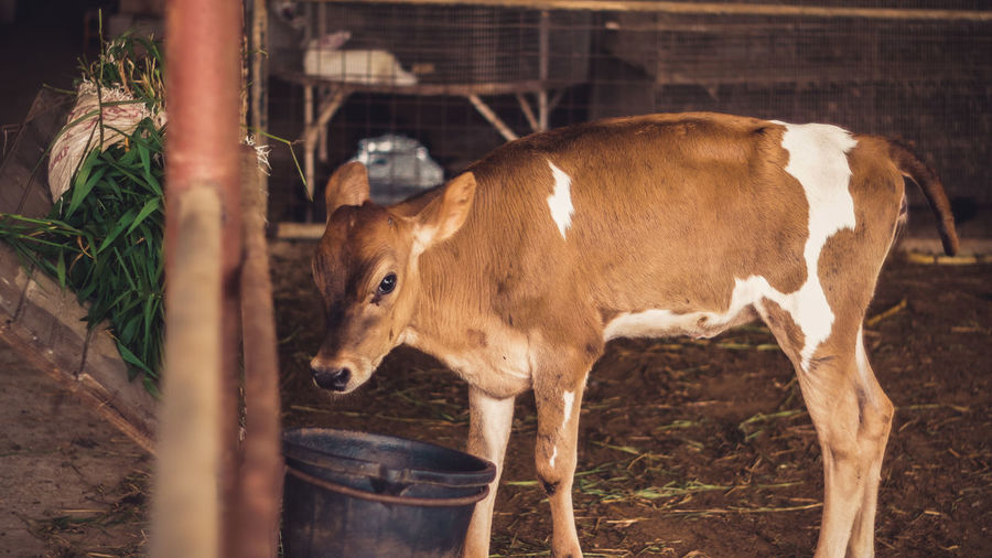 Cow Standing In Barn