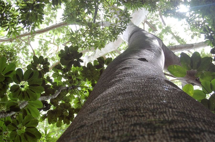 Jungle Tree Beauty In Nature Branch Close-up Day Growth Low Angle View Nature No People Outdoors Tree Tree Trunk