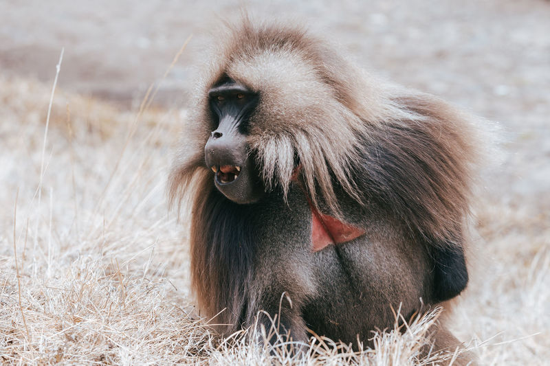 Close-up of a monkey on field