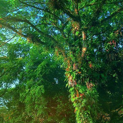 Singaporean Highway Umbrella -Edited with #icolorama Branching_out Motherearth Naturehippys Tree_captures Ilovebaretrees Treeframing Nature_perfection Insta_trees Beautree Randombranchiness Treescollection Naturewhisperers Icolorama Nature_obsession Treeshunter Nature_specialist Natureonly Hubnature Ic_trees Naturestyles_gf Nature_lovers Naturepolis Unitedbytrees