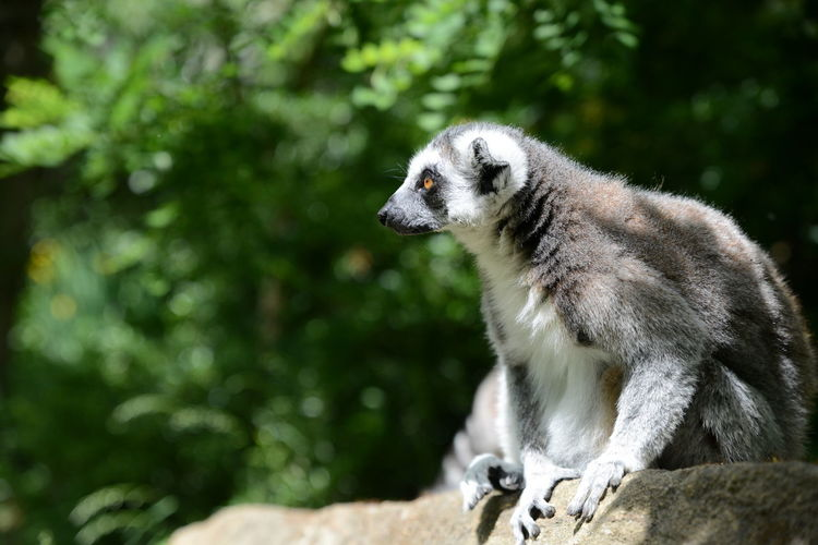 Lemur sitting on rock against trees