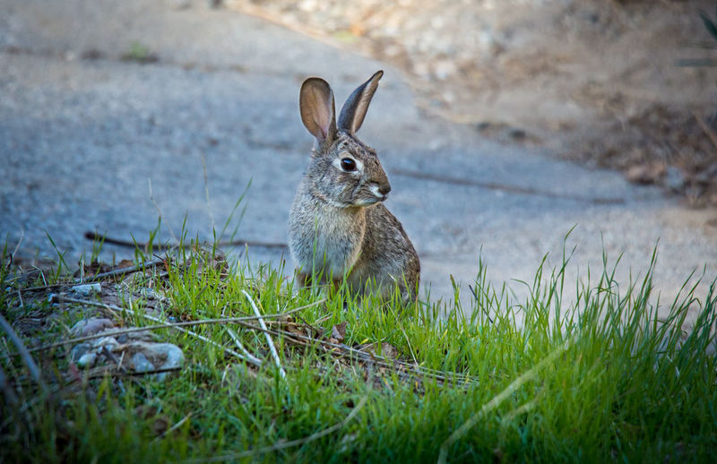 Fuzzy Bunny Listening To Music Animal Animal Themes Animal Wildlife Animals In The Wild Aware Brown Bunny  Day Ears Furry Grass Herbivorous Mammal Nature No People One Animal Outdoors Rabbit Rabbit - Animal Selective Focus Sitting Sunny Day Tan White