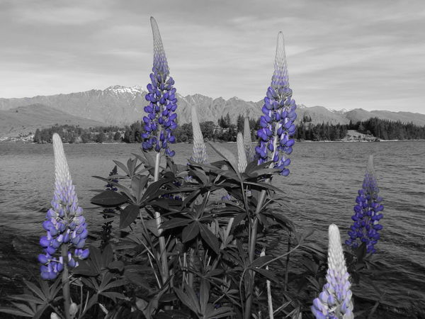 Southern Island of New Zealand Beauty In Nature Black And Purple Flower Flower Head Growth Lupines Nature No People Outdoors