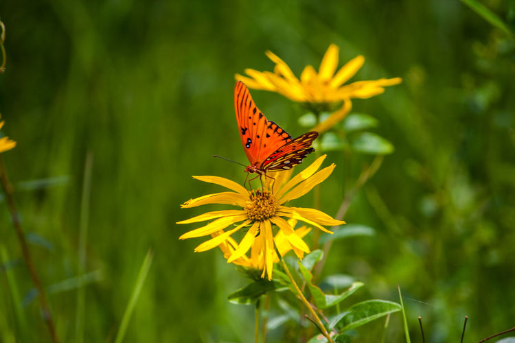 Yellow Flower Beauty In Nature Butterfly Florida False Sunflowe Florida Wildflower Flower Flower Head Flowering Plant Fragility Freshness Growth No People Plant Yellow