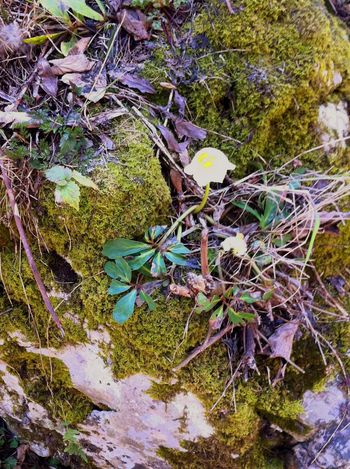 Snowrose Snowrose Nature Day Outdoors Moss Growth Fungus Leaf No People Close-up Plant Forest Beauty In Nature Fragility Shades Of Winter