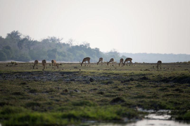 Impalas grazing in a field
