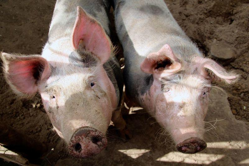 Pork Schwein Animals Open Edit Pastel Power Two Is Better Than One