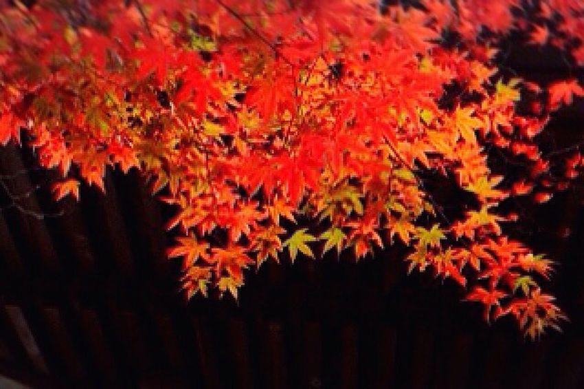 彩 紅葉 Autumn🍁🍁🍁 秋