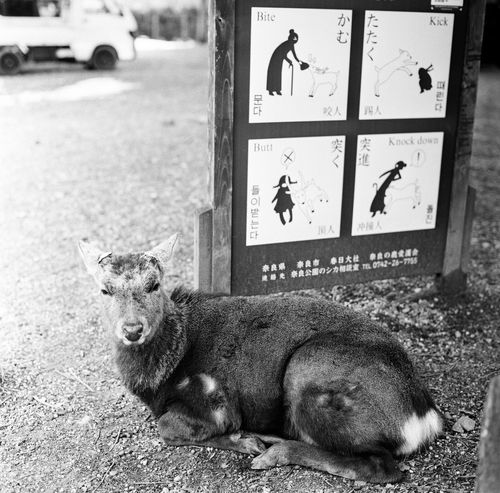 Animals In The Wild Deer Film Nature Signs Animal Animal Themes Animal Wildlife Black And White Blackandwhite Blackandwhite Photography Close-up Day Deers Film Photography Filmcamera Filmisnotdead Hasselblad Lying Down Mammal Monochrome Nature_collection One Animal Outdoors Signboard