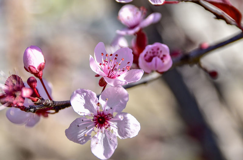 Close-up of almond blossoms blooming on tree