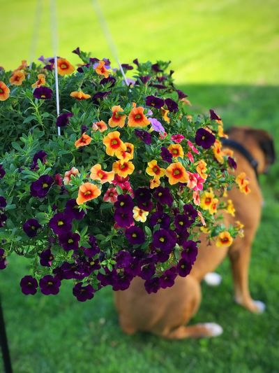 Flowers And Dog Hanging Flower Pot Flowering Plant Flower Plant Vulnerability  Beauty In Nature Fragility Freshness Nature