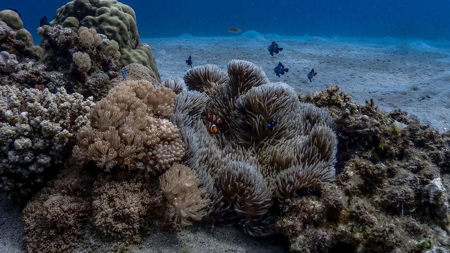 Shallow corals and clownfish at pagkilatan