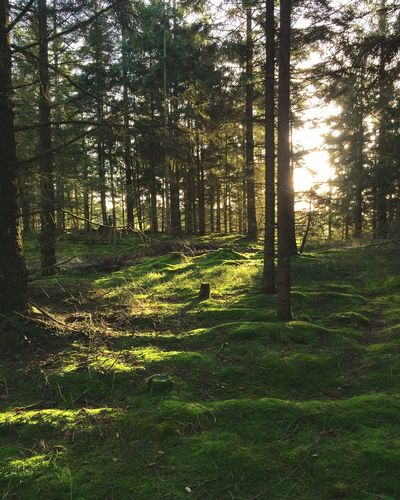 Out For A Walk Sunshine Billund Denmark Evergreen Green Forest Nature Walk Mossporn Moss