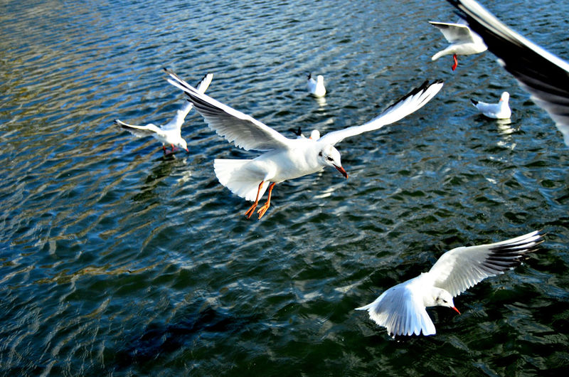 Animal Animal Themes Animal Wildlife Animals In The Wild Bird Day Flapping Flock Of Birds Flying Group Of Animals Motion Nature No People Rippled Sea Seagull Spread Wings Vertebrate Water Waterfront 17.62°