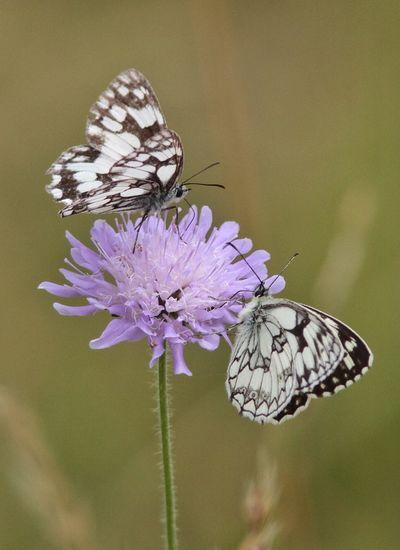 Wildlife Wild Nature Butterfly Butterflies Vlinder Vlinders Virionvallei Virion Pappilllon Belgium. Belgique. Belgie. Belgien. Etc. Flower
