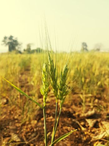 wheat India Karnataka Belgaum  S7edgephotography Agriculture Cereal Plant Nature Crop  Growth Rural Scene Plant Field Wheat No People Beauty In Nature Focus On Foreground Close-up Day Outdoors Sky Freshness