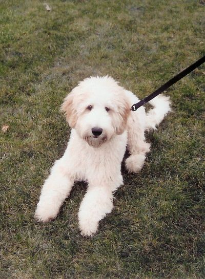 Puppy on a leash Doodle On A Leas Golden Doodle Golden Doodle On The La Golden Doodle Pupp Golden Doodle Puppy Learns To Be On A Leas Golden Hour Leashed Doodle Pu The Best Golden Doodle Pu The Best Golden Puppy