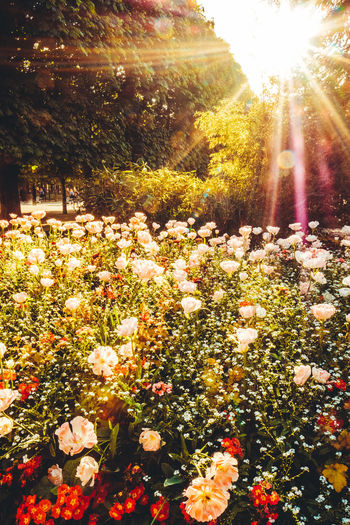 Beauty In Nature Calm Calmness Close-up Day Flower Flower Head Flowers Fragility Freshness Growth Lens Flare Nature No People No People Outdoors No People, Outdoors Plant Roses Sunbeam Sunflare Sunlight Sunrays Tree Wide Shot