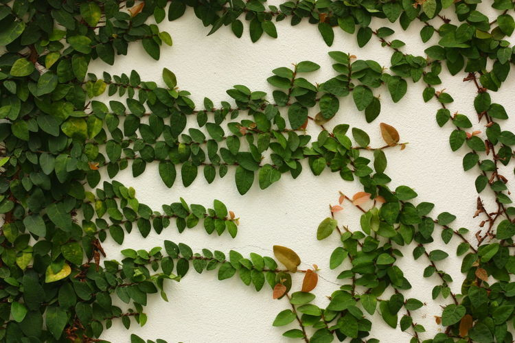 Ivy Growing On Wall
