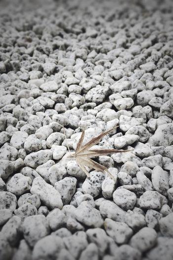 去年の秋の名残。 もみじ 葉っぱ 枯葉 Maple Dead Leaf