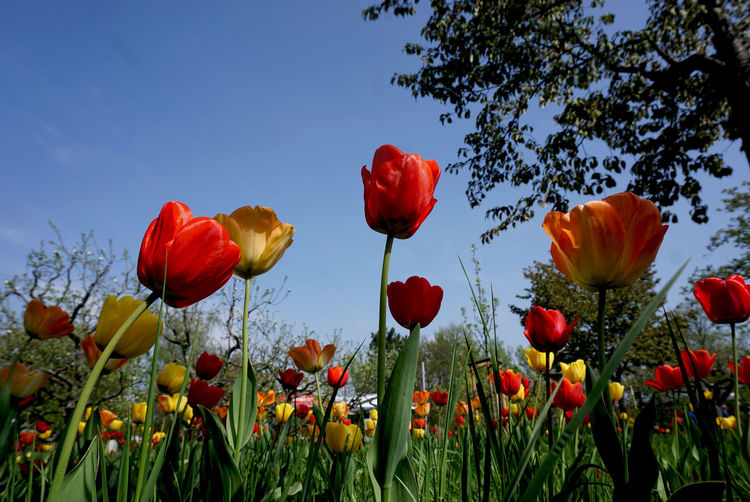 Plant Flower Flowering Plant Beauty In Nature Freshness Growth Fragility Vulnerability  Sky Petal Red Nature Flower Head Close-up Inflorescence Plant Stem No People Field Tulip Land Outdoors