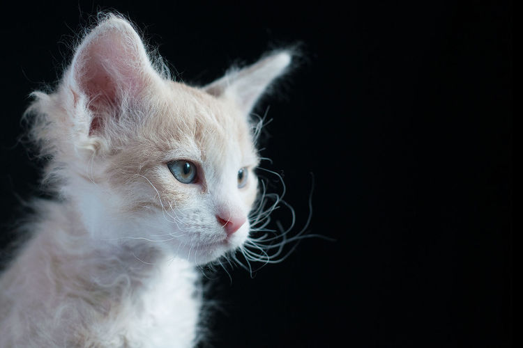 LaPerm kitten Animal Eye Black Background Cat Cat Lovers Cats Cat♡ Close-up Domestic Cat Feline Focus On Foreground Kitten Kittens LaPerm LaPerm Cat Natural Light Pets Portrait