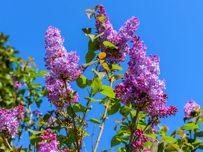 It smells so good <3 Lilacs Beauty In Nature Blue Bluesky Close-up Day Flieder Flower Fragility Freshness Growth Leaves Lilac Lilac Flower Low Angle View Nature No People Outdoors Pink Color Purple Purple Flowers Sky Syringa Tree