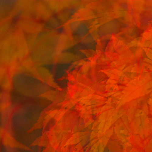Acer Autumn Backgrounds Beauty In Nature Change Close-up Cushion Day Design Dissected Elegant Embrace Fall Full Frame Indoors  Leaf Maple Leaf Nature No People Orange Color Palmate Pointed Red Russet Warm