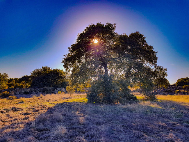 magic árbol Paisaje Encina Sayago Vital Tree Tranquility Nature Beauty In Nature Tranquil Scene Scenics Landscape Blue Outdoors No People Sky Day Clear Sky