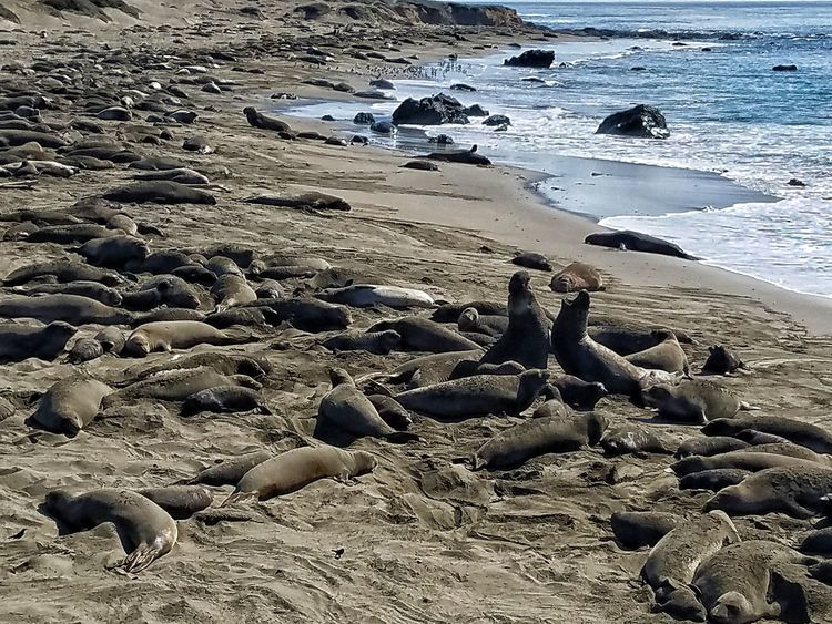 Elephant Seals Pacific Ocean Beach Sand Shore Nature Day Outdoors Sea Close-up Beauty In Nature Water No People Sky