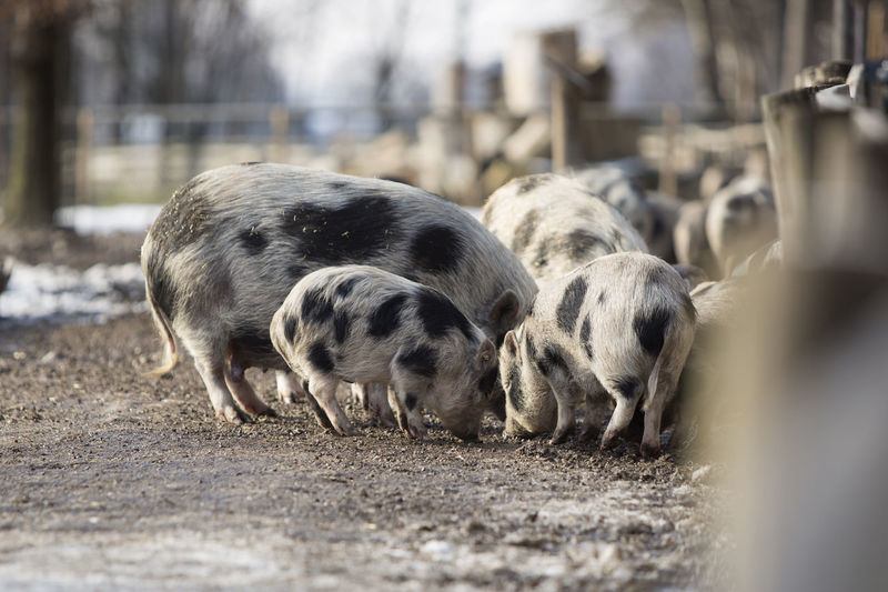 Animal Themes Mammal Group Of Animals Animal Pig Livestock Domestic Animals Piglet Domestic Vertebrate Pets Agriculture Selective Focus Young Animal No People Farm Nature Day Land Outdoors Animal Family Herbivorous