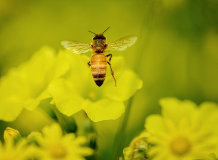 Bee There or be Square Yellow Yellow Flower Bee Insect Animal Wildlife No People Nature Flower Animals In The Wild Plant Close-up One Animal Leaf Fragility Animal Themes Freshness Beauty In Nature