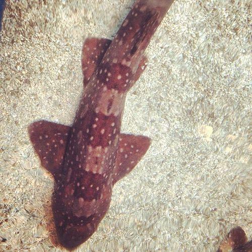 Petting sharks. Sharks Sandshark Pettingthem Babysharks babies dangerous southcarolina SC