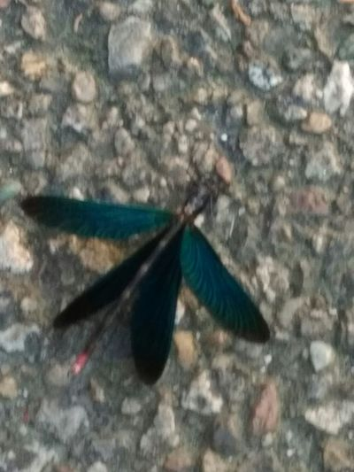 Posata sull'asfalto... Libellula Blue One Animal Animal Themes Animals In The Wild No People Day Outdoors Nature Animal Wildlife Insect Photo Summer 2017 🏊🌞 Vista Bordo Strada Insect_perfection Insect Photography Insetto Biellese. Quaregna