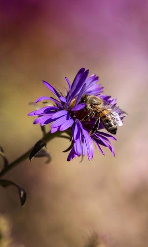 Close-Up Of Honey Bee Pollinating On Osteospermum Flower