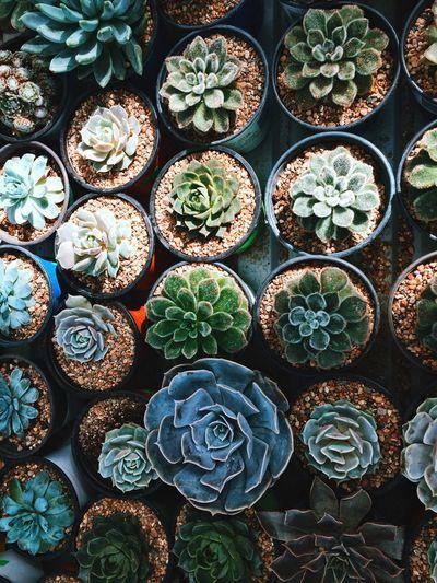 Full frame shot of potted succulent plants
