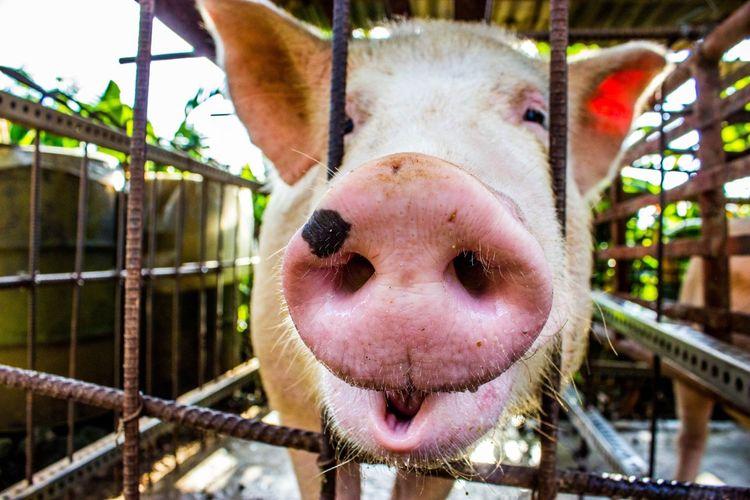 Animal Nose One Animal Close-up Nose Pig Cute Piggy