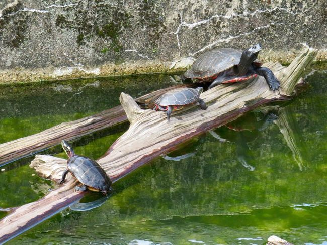 Turtles 🐢 perched on a log water green color EyeEm nature lover animal themes Nature Reptile High Angle View No People