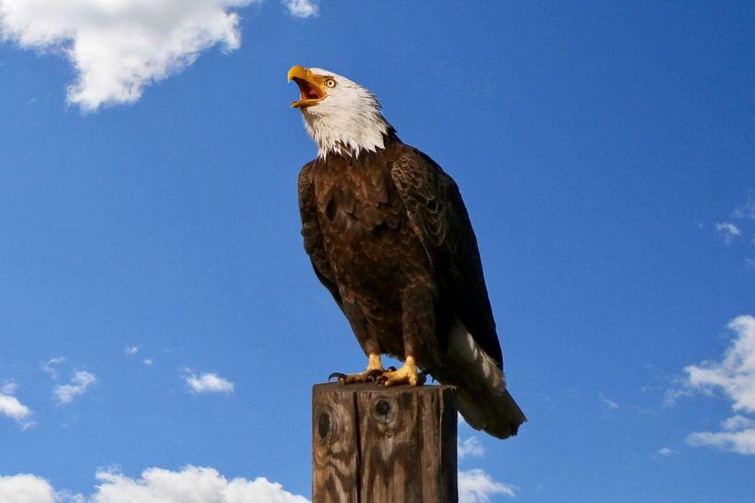 Bald Eagle 303145