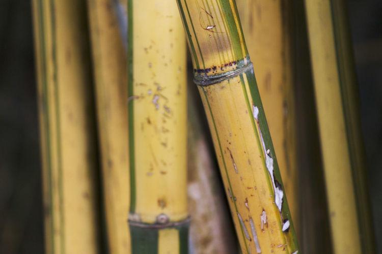 Close-up of yellow bamboos