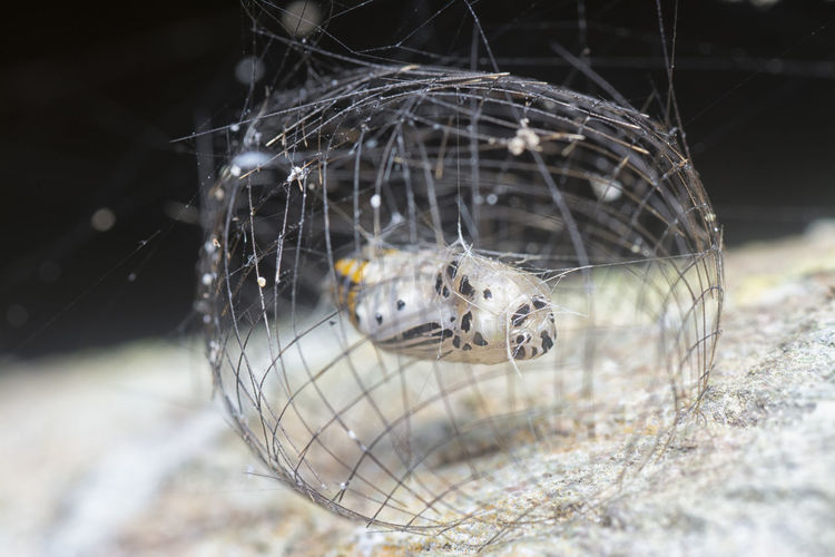 The arctiinae moth caged pupae