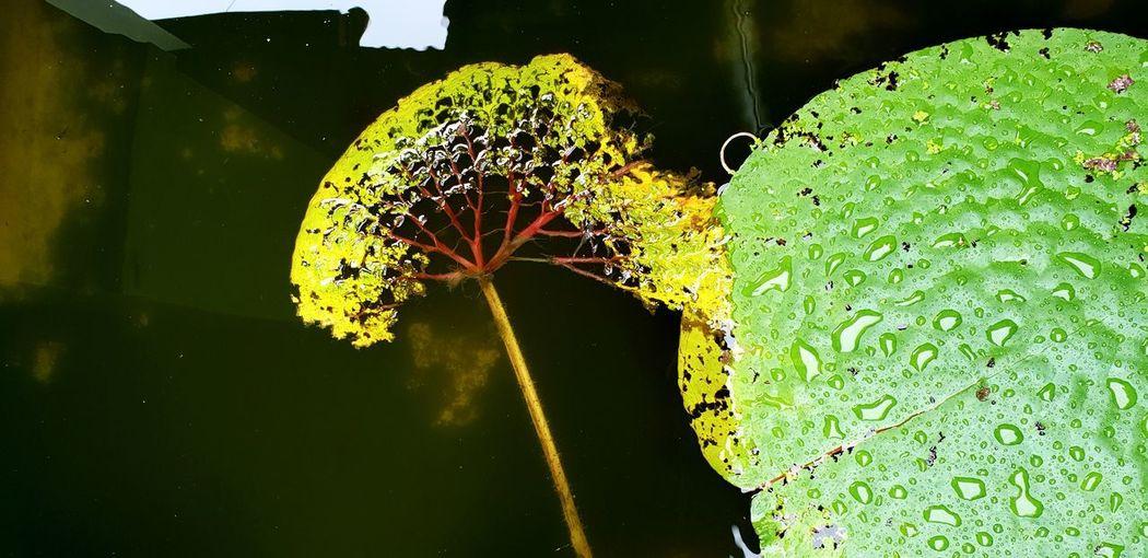 lotus Lotus Lotus Flower Water Close-up Green Color